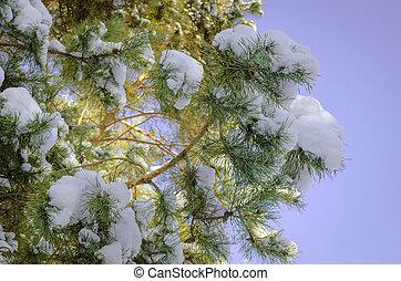 Snow on a pine branch