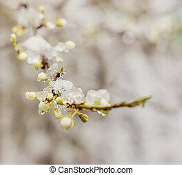 Snow on beautiful blossom