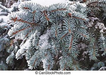 Snow on blue fir branch