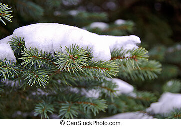 snow on blue spruce - Close up of snow on blue spruce pine...