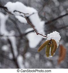 Snow on catkins of alder tree.