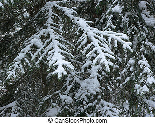 Snow on Evergreen Boughs - Snow piled on boughs of evergreen...