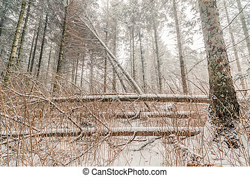 Snow on fallen trees in a forest