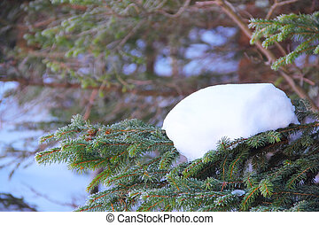 Snow on fir branch