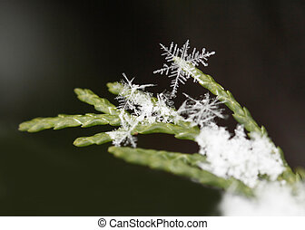 snow on fir branches, macro