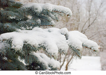 snow on fir branches