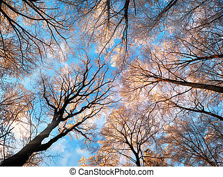 Snow on forest canopy with deep blue sky