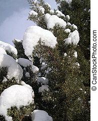 snow on juniper