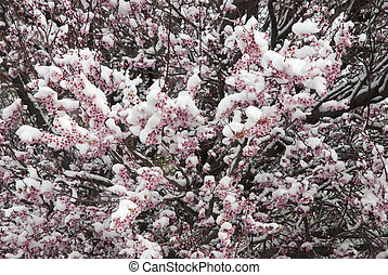 snow on spring blossoms