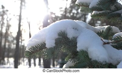 Snow on spruce branches. Evergreen tree close up.