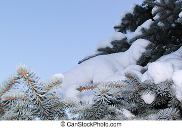 Snow on the branch of fir tree