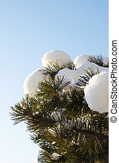 Snow on the branch of pine tree
