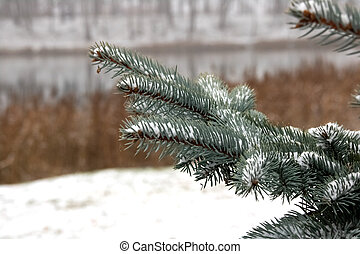 Snow on the branches of blue spruce