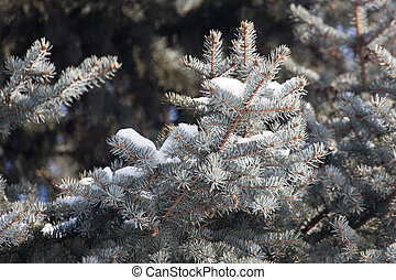snow on the branches of spruce winter