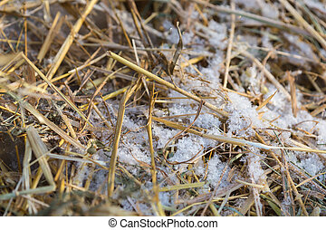 Snow on the dry grass close up