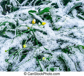 Snow on the green grass and flowers