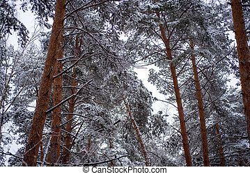 Snow on the pine branches of trees.