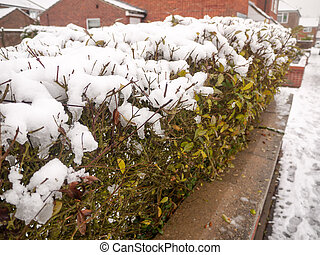 snow on top of hedge green plants behind wall winter; essex...