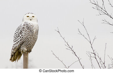 Snow owl - Snowy owl outdoors on a perch.