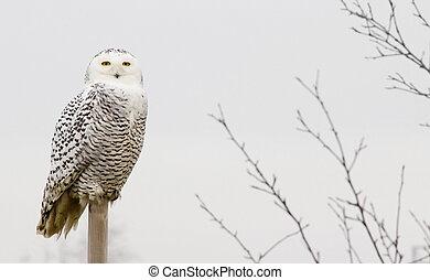 Snow owl - Snowy owl outdoors on a perch.