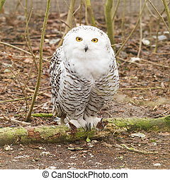 Snow owl with large claws sitting in the forrest