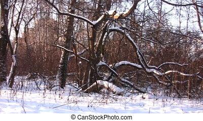 snow., panorama, bois, hiver