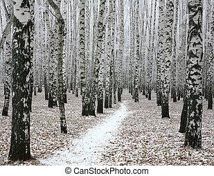 Snow pathway in autumn birch forest