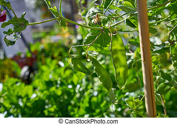 snow peas in urban homestead orchard