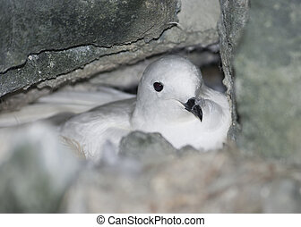 Snow petrel in the nest among rocks.