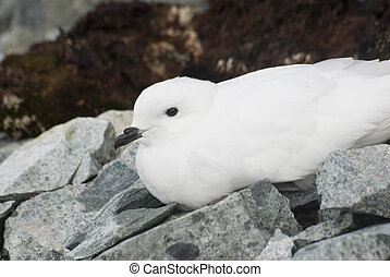 Snow petrel resting on the Antarctic Islands.
