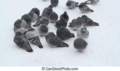 snow., pigeons