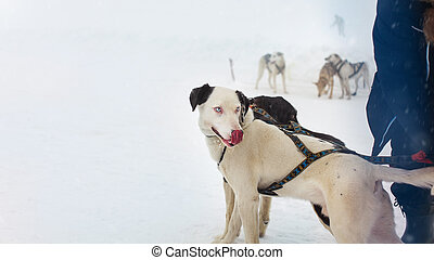 snow sled dog with interesting eyes licking his nose with more snow dogs in the background
