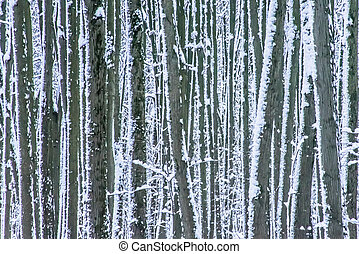 Snow splashed tree trunks in winter forest as background.