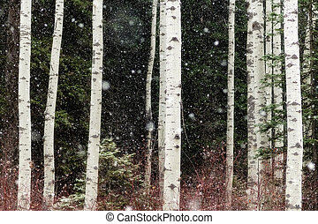 Snow storm falls upon a grove of Aspen trees in winter