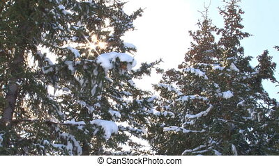 Snow Trees Sunburst Flurry