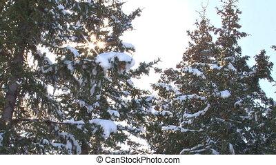 Snow Trees Sunburst Flurry