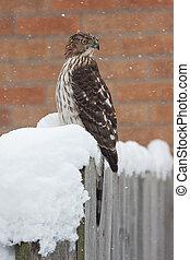 Snow Twisted Cooper's Hawk