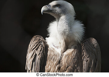Snow vulture gyps himalayensis