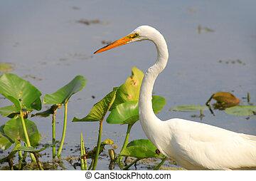 Snow white egret