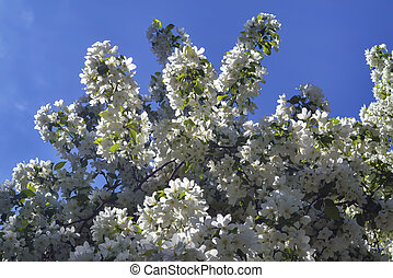 Snow-white spring flowers of a wild apple tree against a blue, cloudless sky.