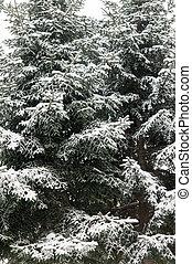 snow winter tree branch Pine