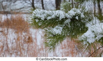 Pine christmas tree winter branch in snow