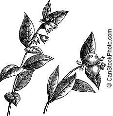 snowberry, symphoricarpos, rocznik wina, engraving., albo, ...