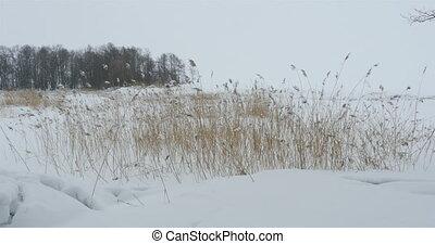 snowbound winter landscape - Winter snow forest cattails in...