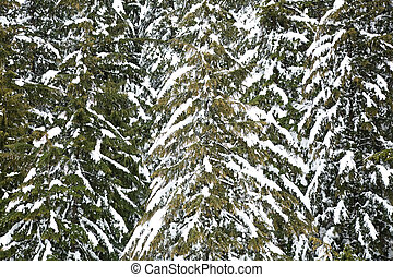 Snowcapped tree, winter landscape in canada vancouver