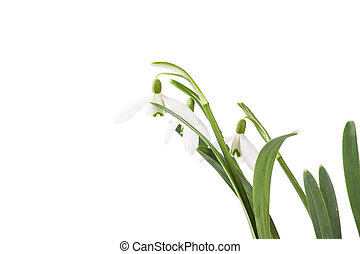 snowdrop bouquet isolated on white