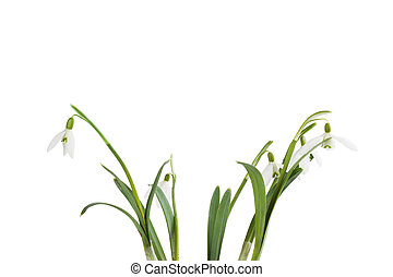 snowdrop bouquet on white background