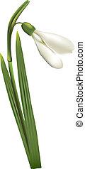 First spring flower snowdrop on white background.