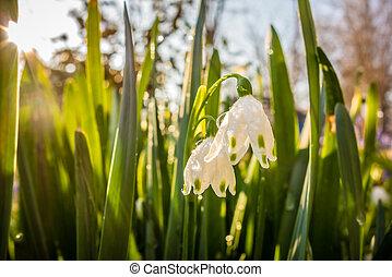 snowdrop, flores del resorte