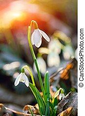 snowdrop flower in morning dew, soft focus - Spring snowdrop...